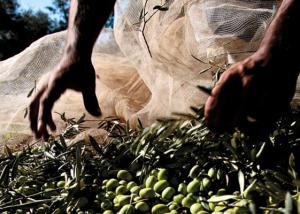 Szállásunk egy olivafákkal ölelt ligetben helyezkedik el